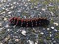 Argynnis hyperbius Himeji 02.jpg