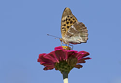 Argynnis paphia - Silver-washed Fritillary - Cengaver 12.jpg