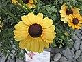 Argyranthemum frutescens × Chrysanthemum carinatum Canary queen -荷蘭園藝展 Venlo Floriade, Holland- (9213296971).jpg