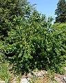 Aristotelia chilensis - VanDusen Botanical Garden - Vancouver, BC - DSC07406.jpg