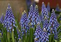 Armenian Grape Hyacinth Muscari armeniacum Flowers 2829px.jpg
