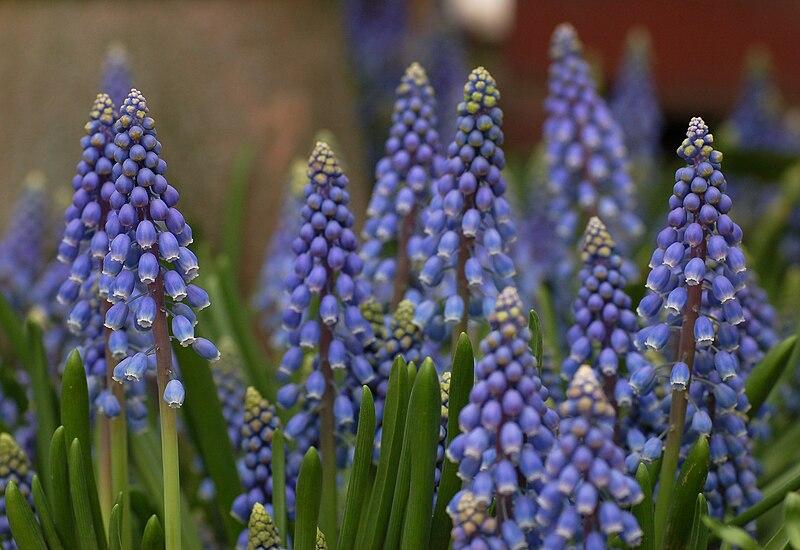 File:Armenian Grape Hyacinth Muscari armeniacum Flowers 2829px.jpg