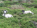 Arnfield Clough Sheep 3306.JPG