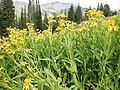 Arnica longifolia (29135004851).jpg