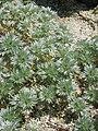 Artemisia laciniata 2.JPG