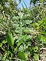 Artemisia pontica sl16.jpg