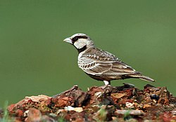 Ashy-crowned Sparrow Lark (Male) I IMG 8244.jpg