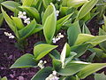 Asparagales - Convallaria majalis - 1.jpg