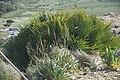 Asphodelus racemosus et Palmier nain-3119.jpg