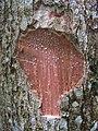 Aspidosperma spruceanum, gararoba - Flickr - Tarciso Leão (10).jpg