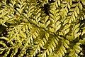 Asplenium bulbiferum in Dunedin Botanic Garden 01.jpg