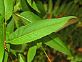 Asteraceae - Senecio ovatus-002.JPG