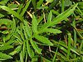 Asteraceae - Serratula tinctoria.JPG