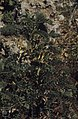 Astragalus lusitanicus, Iberian milk vetch, Imouzzer (23903131268).jpg