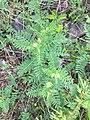 Astragalus neglectus 1.jpg