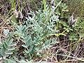 Astragalus vesicarius subsp. vesicarius sl7.jpg