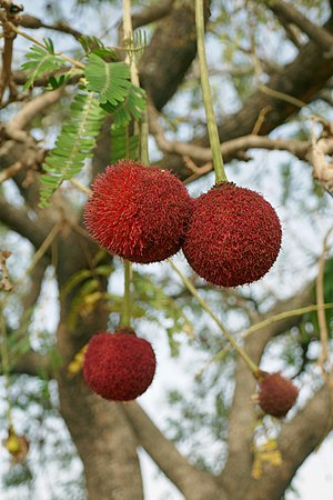 Parkia biglobosa - Flowers