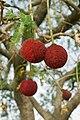 Atakora-Parkia biglobosa (6).jpg