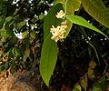 Atalantia monophylla 01.JPG