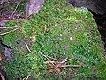 Atrichum undulatum (Hedw.)-Bezvláska vlnkatá, také Bezvláska čeřitá, dříve Kátinka vlnkatá(3).jpg