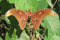 Attacus atlas - Atlas moth - at Peravoor (1).jpg