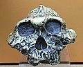 Australopithecus boisei IMG 5613 BMNH.jpg