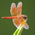 Avatar dragonfly.png