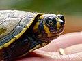Baby Turtle (42328565782).jpg