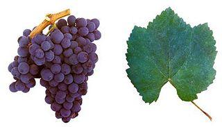 Baga (grape) varietal