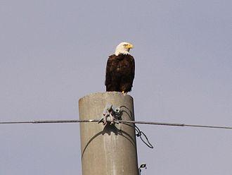 Merritt Island National Wildlife Refuge - Bald eagles inhabit the refuge.
