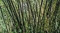 Bamboo (131167067).jpeg