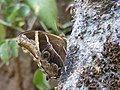 Bamboo treebrown - Lethe europa from Chalavara.jpg