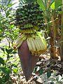 Bananenblüte Vietnam.JPG