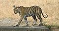 Bandhavgarh-kanha 7.jpg