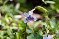 Banks violet - Viola banksii (7977979875).jpg