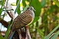 Bar-Shouldered Dove - AndrewMercer IMG16753.jpg