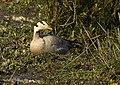 Bar-headed Goose AMSM5836.jpg