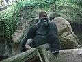 Barcelona-Zoo-Gorila occidental de tierras bajas (Gorilla gorilla gorilla).jpg
