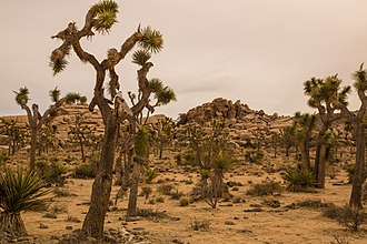 Joshua Tree National Park Barker Dam Nature Trail (17081448532).jpg