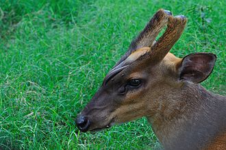 Zoological Garden, Alipore - An Indian muntjac or barking deer at the zoo.