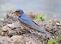 Barn Swallow female.jpg