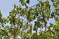Batino (Alstonia macrophylla) tree with fruits at Hyderabad, AP W 277.jpg