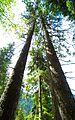 Baumpaar im Wald.jpg