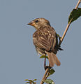 Baya Weaver (Ploceus philippinus) in Hyderabad, AP W IMG 1394.jpg