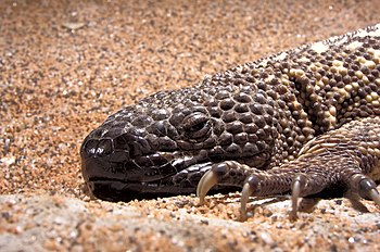 Mexican Beaded Lizard from the local reptile h...