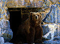 Bear at Washington Zoo (12156938906).jpg