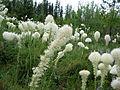 Beargrass (Xerophyllum tenax) (7204160560).jpg