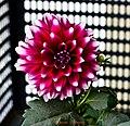 Beautiful Dahlia - Flickr - Swami Stream.jpg