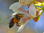 Bees-really-like-pollinating-my-myer-lemon-tree.jpg