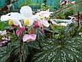 Begonia deliciosa-flowers.JPG